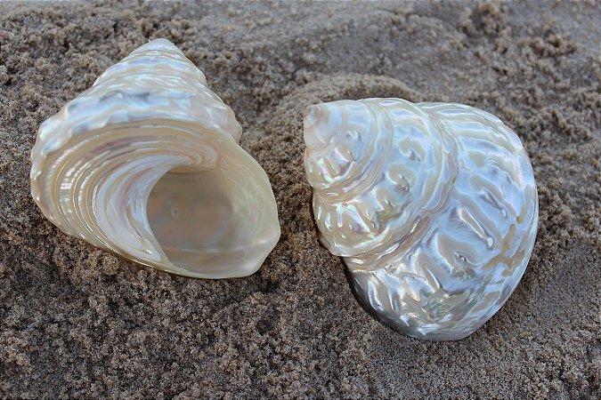 astraea undosa pearlized 7 cm - unid