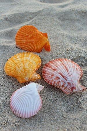 pecten colored pair  6 cm  - unid