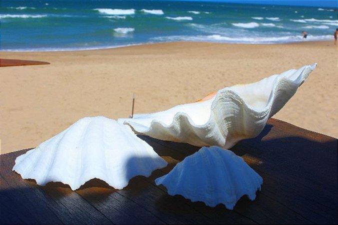 china clam unpair 20 cm - unid