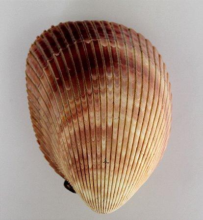 giant brown cokles pair  (t. en.) 9 cm - unid