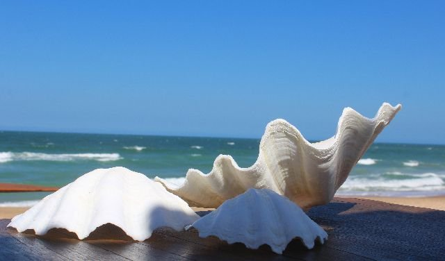 china clam unpair 17 cm - unid