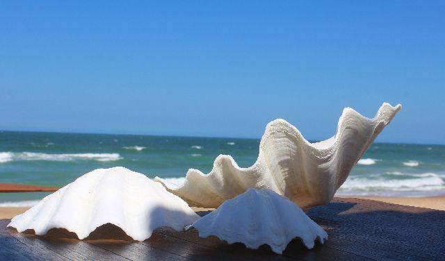 china clam unpair 12 cm - unid