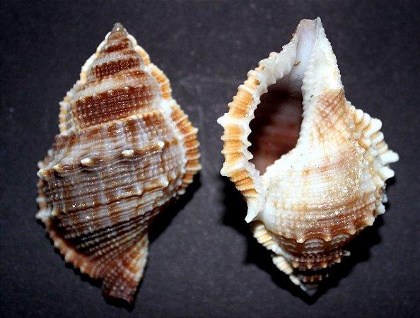 bursa rana 8 cm - ( frog shell ) - und