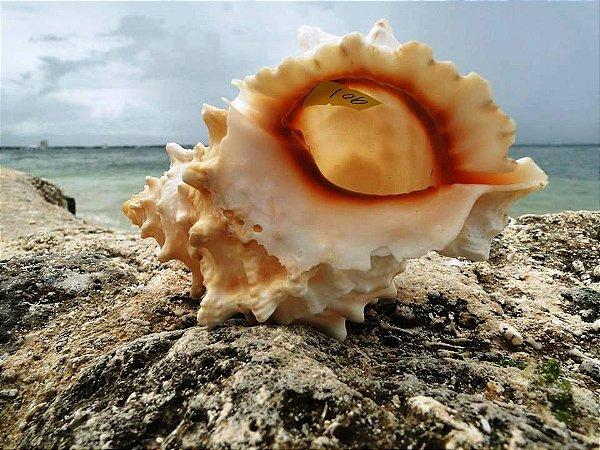 bursa bufo 15 cm - unid