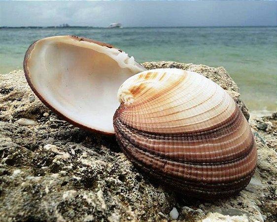 maxima clam unpair 10 cm - 750gr