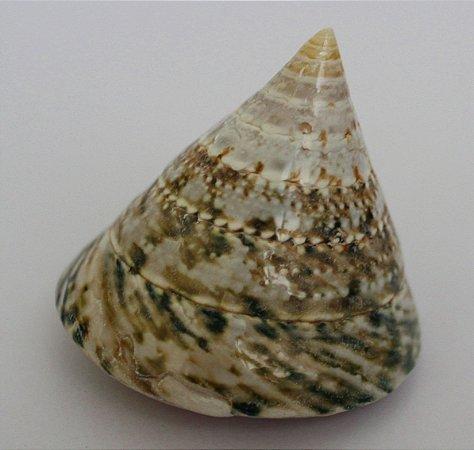 troca  female nat.polished 5 cm - unid