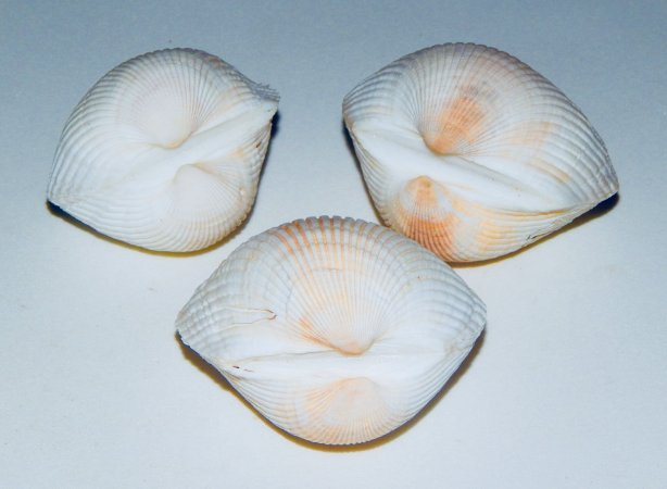 giant litub white pair - un