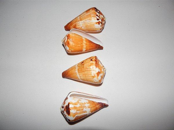 conus vexillum 7 cm - unid