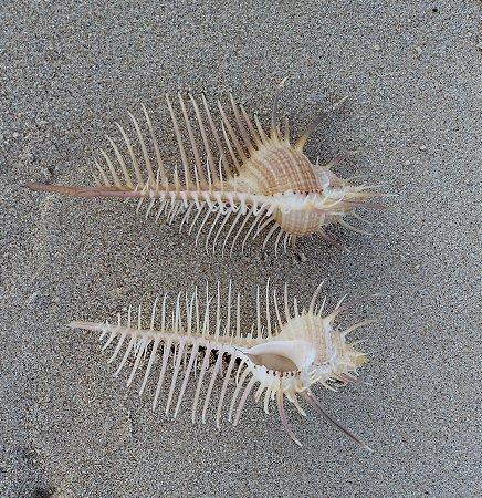 murex venus comb 10 cm - unid