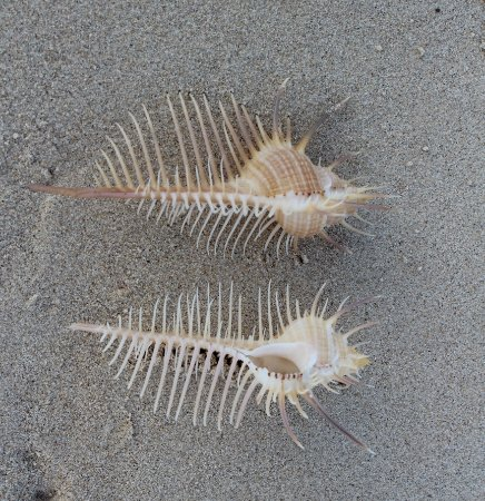 murex venus comb 8 cm - unid