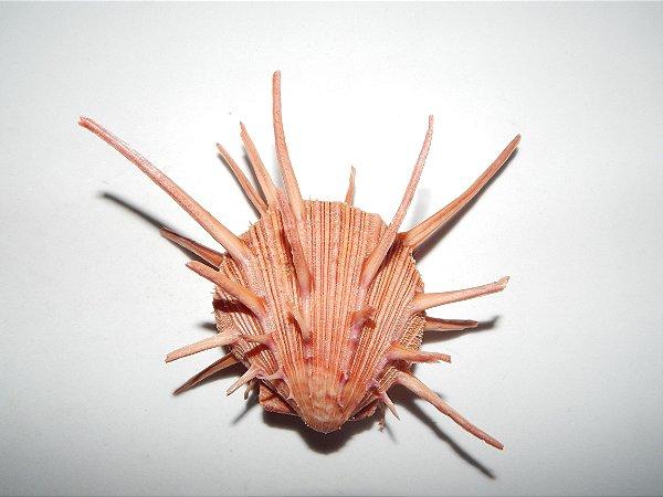 spondyllus regius 5 cm  - unid