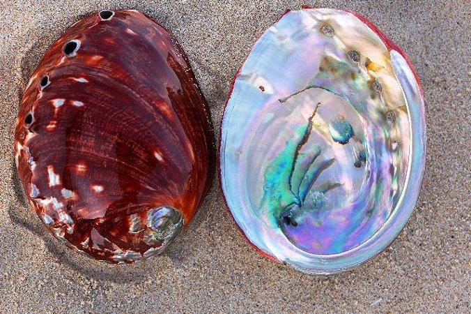 haliotis rufescens (red abalone) 18 cm - unid