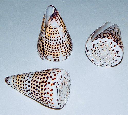 conus literatus polished 10 cm - unid