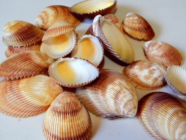 brown giant cockles  small - 750gr