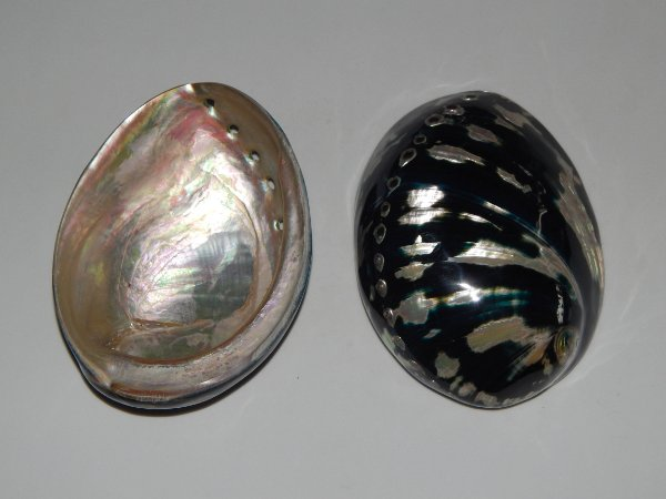 haliotis black abalone 11 cm  - unid