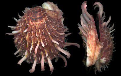 spondyllus barbatus reeve - unid