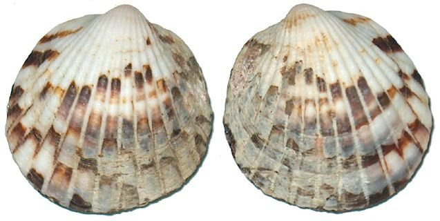glycymeris ambionensis unpair - 750gr
