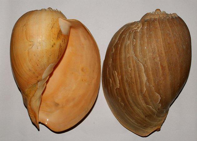 melo broderippii  natural 10 cm  - unid