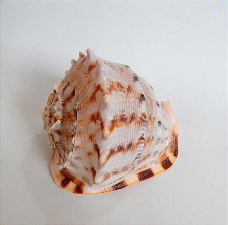 cassis cornuta 10 cm - unid