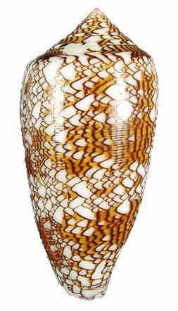 conus textile 10 cm - unid