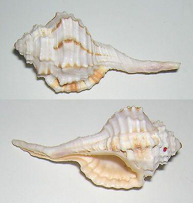 cymatium caudatum - unid