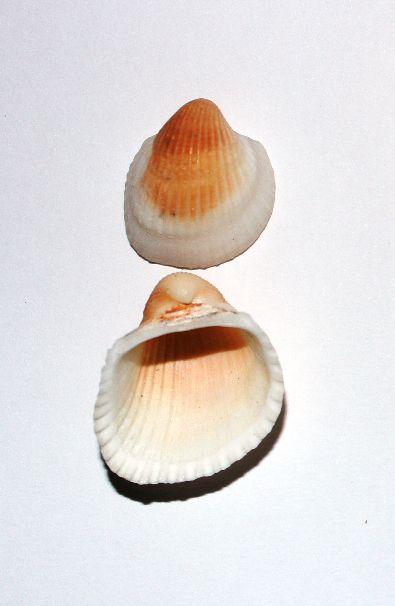 clam rose - 750gr