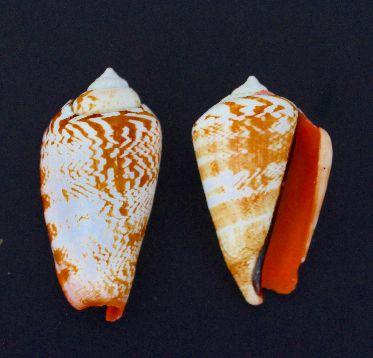 strombus luhuanus - 750gr