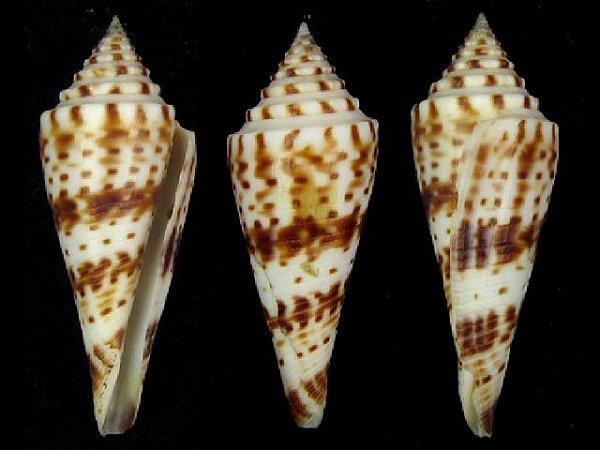 conus ichinoseana 4 cm - unid