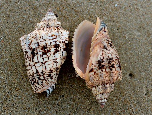 rajado (voluta ebraea) 17 cm  -  unid