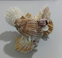spondyllus barbatus group 4 - unid