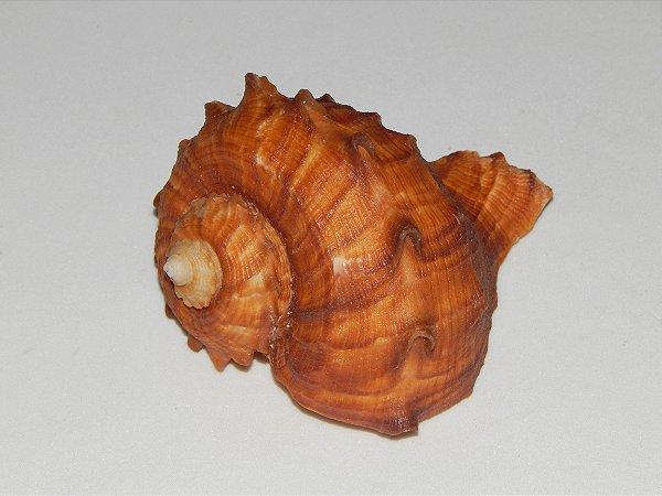 rapana rapiformis 8cm - unid