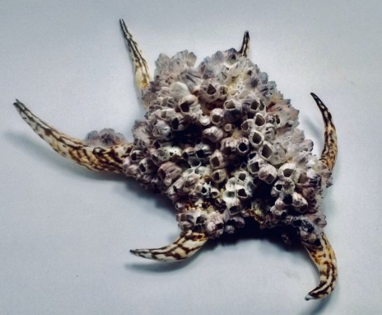 lambis chiragra w/ barnacle - unid