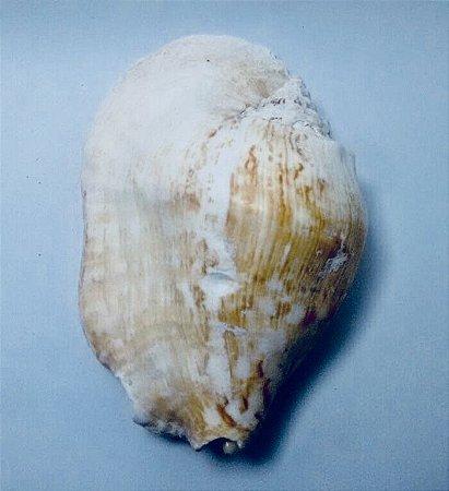 strombus laticimus b
