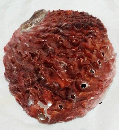australian abalone nat. clean 11 cm - unid