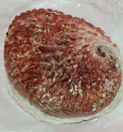 australian abalone nat. clean 15 cm - unid