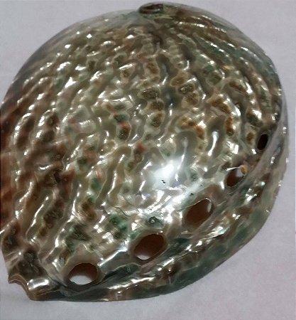 haliotis fulgens 14 cm - unid