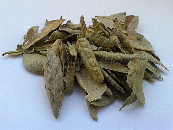 Boldo do Chile (Peumus boldus) - Folhas inteiras