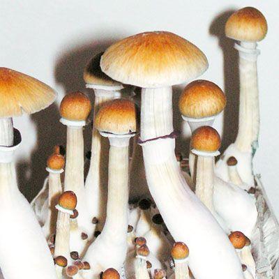 Psilocybe cubensis Florida A+  Seringa de 5ml com esporos para cultivo