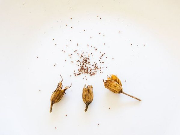 Mapacho (Nicotiana rustica) - 25 sementes