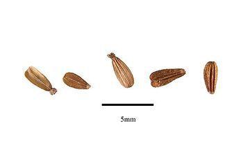 Verbena (Verbena officinalis) - 25 sementes para cultivo