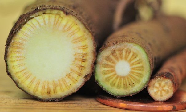 Kava-kava (Piper methysticum) - 10 gramas de raízes trituradas