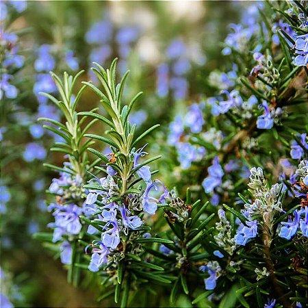 Alecrim (Rosmarinus officinalis) - 20 gramas de Folhagem