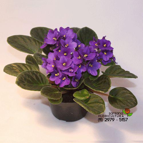 Vaso de violeta