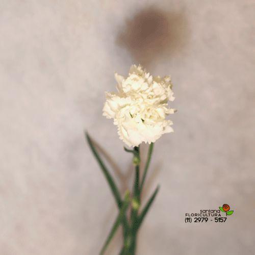 Cravo branco avulso