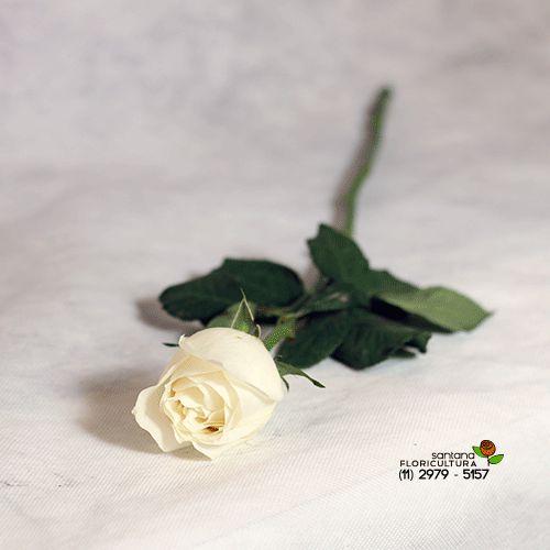 Rosa branca avulsa