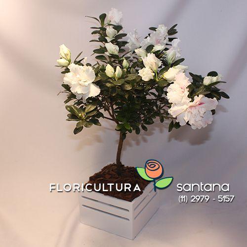 Azaleia Bonsai