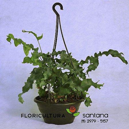 Amazonas Polypodium Mandaianum
