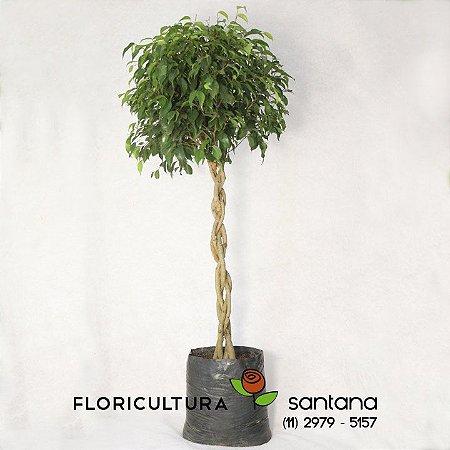 Ficus folhas verdes