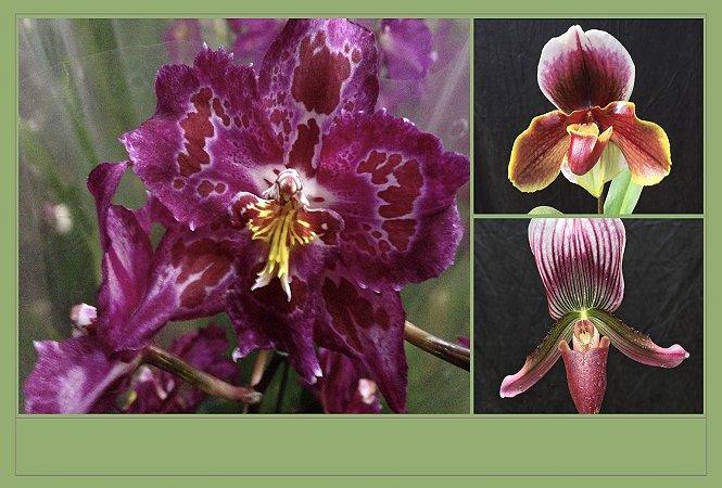Pacote Promo #02  (Orquídeas Híbridas Adultas)