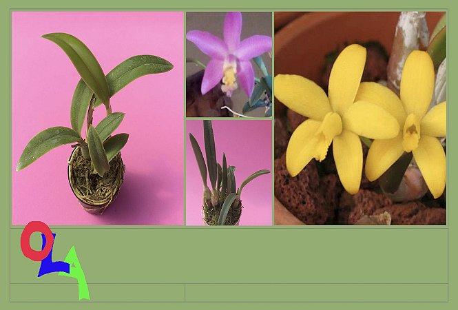 Pacote promo #06  (Orquideas Hoffmannseggellas)